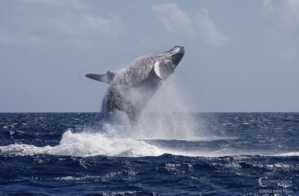 whales breeching